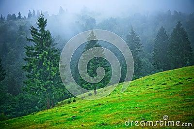Abeti in nebbia