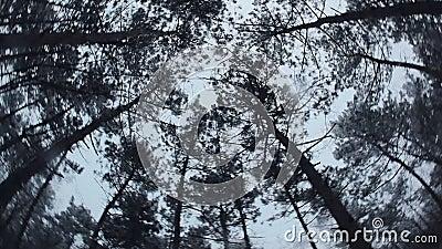 Abeto vermelho elevado Movimento circular da câmera vídeos de arquivo