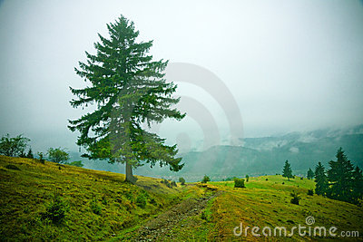 Abetos en niebla