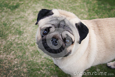Above a Pug portrait