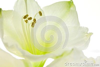 Abschluss der weißen Lilie oben