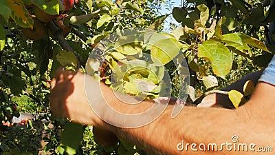 Abschluss schoss oben von einer Arbeitskraft, die reife Äpfel auswählt stock footage