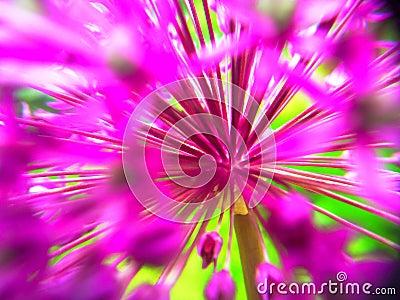 Abstract Allium