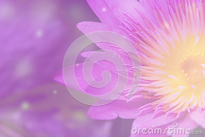 Abstract background of purple lotus.