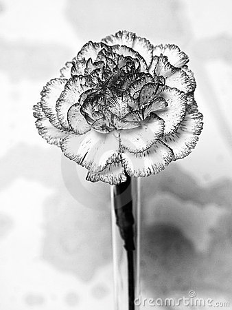 Abstract Black & White Carnation
