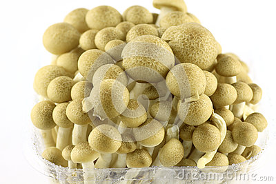 Abstract clump of Brown beech mushrooms