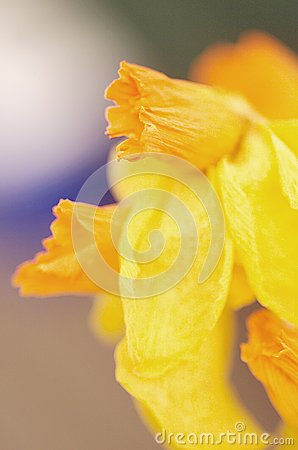 Abstract detail of Daffodils