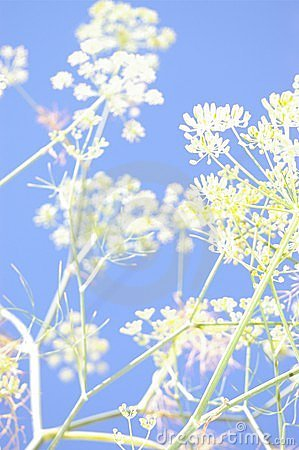 Abstract Fennel