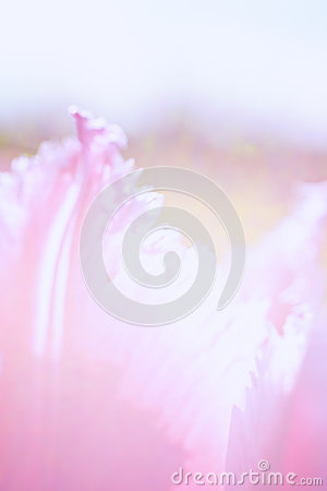 Free Abstract Floral Background With Tulip Petals Stock Images - 29426664
