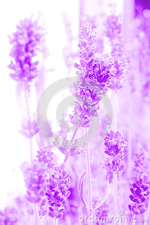 Abstract lavender flowers
