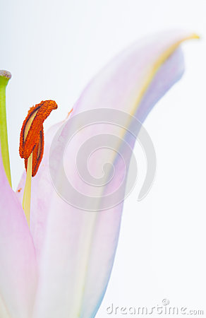 Abstract lily flower