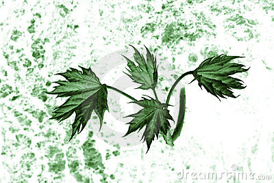 Abstract maple leaves