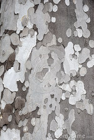 Abstract pattern bark of a sycamore Stock Photo