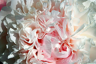 Abstract pink peony flower