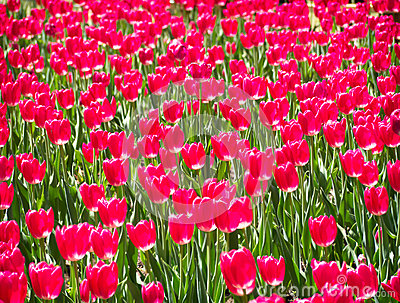 Abstract Red Tulip Background