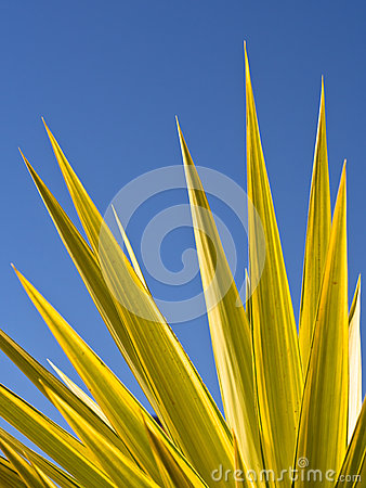 Green Yucca Leaves Blue Sky