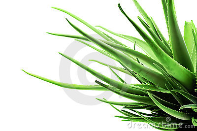 Abstract tentacle aloe flower