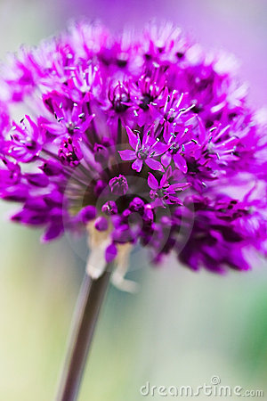 Free Abstract Violet Flower Royalty Free Stock Image - 5749156