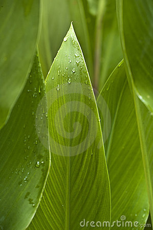 Abstract Wet Calla Leaves