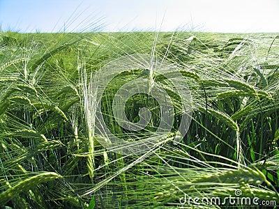 Abstruse wheat field