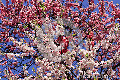 Abundance of blossoming branches
