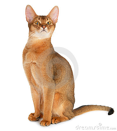 Free Abyssinian Cat Royalty Free Stock Image - 21366796