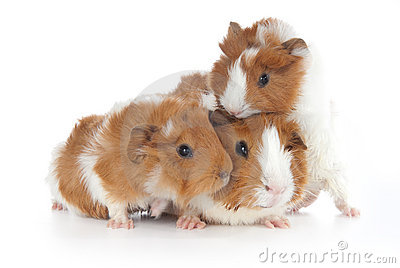 Abyssinian Guinea Pigs (Cavia porcellus)