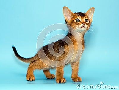 Abyssinisches Kätzchen