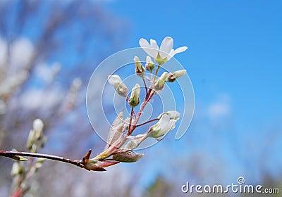 Acacia branches