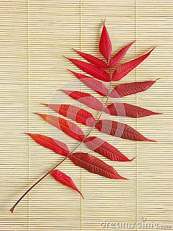 Acacia leaf in autumn colors