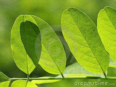 Acacia s leaf