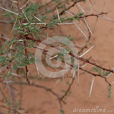 Free Acacia Tree In Sahara Desert Royalty Free Stock Photo - 109493925