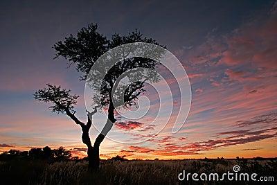 Acacia tree silhouette, Namibia
