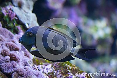 Acanthurus - surgeon fish