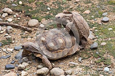 Accoppiamento delle tartarughe fotografie stock immagine for Oggetti per tartarughe