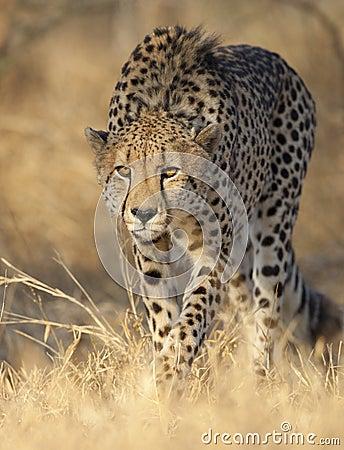 Acecho del guepardo