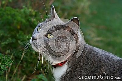 Acecho gris del gato