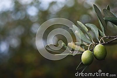 Aceitunas verdes en la ramificación