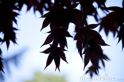 Acer leaves silhouette