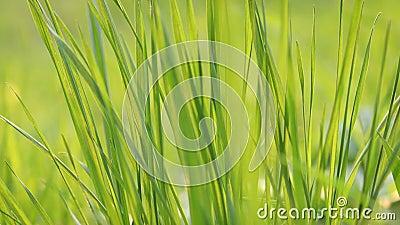 Acercamiento al césped verde vibrante de primavera almacen de video