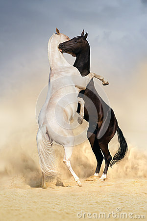 Free Achal-teke Horse Fight Stock Images - 44357824