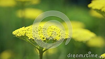 Achillea fillipendulinaAchillea millefolium, naturligt för guld- växt- växt för sommar utomhus- lager videofilmer