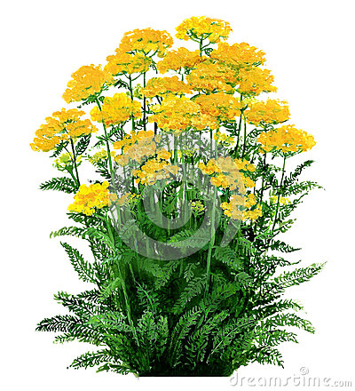 Achillea -yarrow yellow