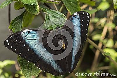 Achilles Morpho, blauw-Gestreepte vlinder Morpho
