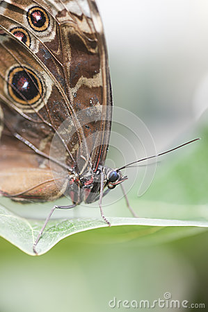 Achilles Morpho butterfly