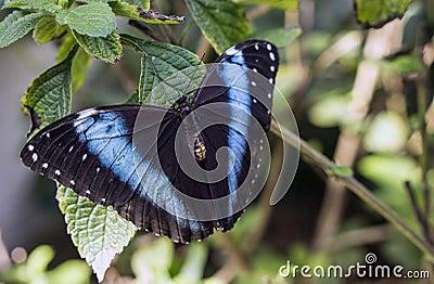 Achilles Morpho, mariposa Azul-congregada de Morpho