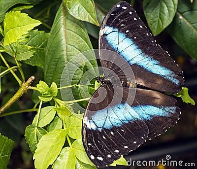 Achilles Morpho, Skrzyknący Morpho motyl