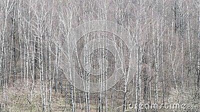 Acima da vista do bosque desencapado do vidoeiro na floresta na mola vídeos de arquivo