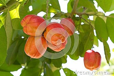 Ackee Fruit On Tree