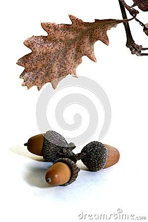 Free Acorn Isolated Stock Image - 4340561